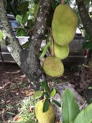 Artocarpus heterophyllus Lam. Moraceae-Jackfruit, ขนุน (SierraSunrise) Tags: fruit jackfruit large moraceae nongkhai phonphisai plants thailand trees