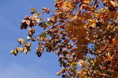 Blasenbaum, rispiger / golden rain tree (Koelreuteria paniculata) (HEN-Magonza) Tags: herbst autumn botanischergartenmainz mainzbotanicalgardens rheinlandpfalz rhineland palatinate deutschland germany rispigerblasenbaum goldenraintree koelreuteriapaniculata fruchtstand seedhead