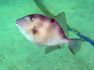 Gray triggerfish, Navarre Beach, Florida