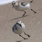 Sanderlings having a race thumbnail