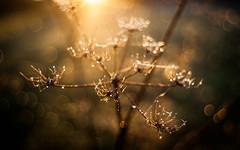 Reaching out (ursulamller900) Tags: pentacon2829 golden bokeh seeds sunrise morningdew tau
