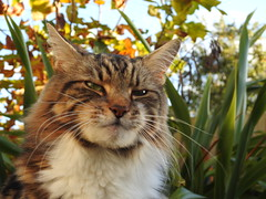 YOU'RE MY GUIDING LIGHT (P☆ppy C☆cqué) Tags: ap poppy mainecoon pet cat poppycocqué foyvance guidinglight youremyguidinglight caturday saturday happycaturday ernesthemingway quote quotation soundtrack poem poetry prose p☆ppyc☆cqué autumn fall garden mygarden outdoors outside season seasonal leevancleef impression expression sooc straightoutofcamera trees plants angeleyes bubbles