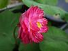 Nelumbo nucifera 'Red Narita' Lotus 008 (Klong15 Waterlily) Tags: rednarita lotus scaredlotus nelumbo nelumbonucifera redlotus lotusthai thailotus
