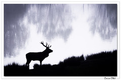 Silhouette finale. (C. OTTIE et J-Y KERMORVANT) Tags: nature animaux mammifères cervidés cerf parcanimalier france
