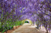 Wisteria walk (cheezepleaze) Tags: wisteria blossoms purple spring hdr aurora hss flower benches walkway path