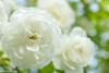 Flowers-9 (niekeblos) Tags: rose roses flower flowers white nature green bokeh spring canon60d macro