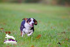 _MG_0783 (Corey Polis) Tags: akc dogsports fastcat gabe lurecourse wvbc williamettevalleybasenjiclub