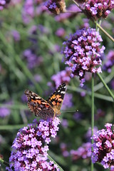 Butterfly on a flower (pegase1972) Tags: attractive beauty butterfly butterflyflower butterflyisolated closeup colorful flower macro natural nature photography summer vanessacardui paintedlady