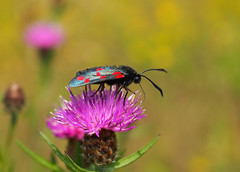 Zygaena Filipendulae - 2 (Visual Stripes) Tags: moth insect thistle nature macro dof 35mmmacro olympus