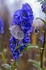 Blue on a gloomy, wet day - Norway (Ingunn Eriksen) Tags: aconite oktoberhjelm flower droplets nikond750 nikon