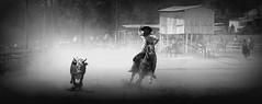 Laçando poeira (Eduardo Amorim) Tags: gaúcho gaúchos gaucho gauchos campeiro campeiros cavalos caballos horses chevaux cavalli pferde caballo horse cheval cavallo pferd gado ganado cattle bétail bestiami vieh vaca cow vache mucca kuh boi buey ox boeuf mue rind vacas cows vaches mucche kühe bois bueyes oxen boeufs buoi rinder pampa campanha fronteira pinheiromachado riograndedosul brazil brésil brasil sudamérica südamerika suramérica américadosul southamerica amériquedusud americameridionale américadelsur americadelsud cavalo 馬 حصان 马 лошадь laço lasso lazo