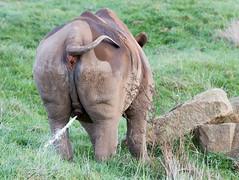 The smelly end... (Phyllis072) Tags: ywp2017 ywp yorkshirewildlifepark yorkshire rhino rhinoceros blackrhino