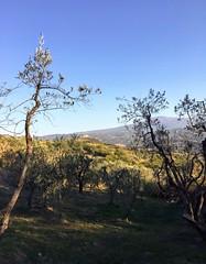 Season of olives! 👌🍈 #like #follow #share #comment #tuscany #italy #borghetto #montalcino #travel #discover #enjoy #nature #landscape 👍 (borghettob) Tags: like follow share comment tuscany italy borghetto montalcino travel discover enjoy nature landscape