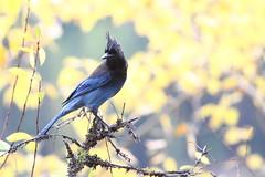 Steller's jay, Cyanocitta stelleri (jlcummins - Washington State) Tags: birds yakimacounty washingtonstate rimrockreservoir