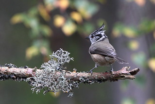 Scotland's Crested Tit