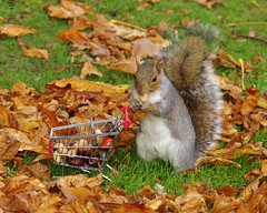 grey squirrel  with shopping trolley cart  in park autumnleafs on grass . (26) (Simon Dell Photography) Tags: sheffield botanical gardens city park 2017 simon dell photography pan statue wood spirit god woods grey squirrel cute awesome funny countryfile springwatch autumn fall leafs uk england october weatjher seasonal with shopping cart trolley micro toy model coke bottle coca cola knuts conkers photo pic