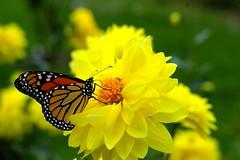 Monarch Moments (Dino Langis) Tags: natureselegantshots flowerarebeautiful thebestofmimamorsgroups pinnaclephotography