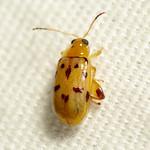 Flea Beetle thumbnail