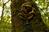 _MG_7785 (Cintia Billmaier.) Tags: setas hongos liquenes ucieda naturaleza verde color pilze mushroom arboles baum bäumen natur nature cantabria kantabrien paisaje reservanatural cantabriainfinita