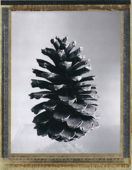 pomme de pin (JJ_REY) Tags: pommedepin pinecone polaroid 55pn bw largeformat 4x5 instantfilm peelapart positive toyofield 45a 150mm sironarn rodenstock epson v800 roidweekautumn2017 colmar alsace france