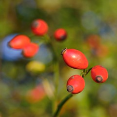 Hagebutte / rose hip (mechanicalArts) Tags: hagebutte rose hip hundsrose