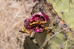 GY8A4231.jpg (BP3811) Tags: 2017 4wd arizona box conservation flower gila national october pricker riparian safford area arid cactus desert dirt insect road rocks sand thorn wasp