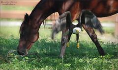 giddy up! (evelyng23) Tags: swfleaglecam harriet nftmyers florida usa haliaeetusleucocephalus baldeagle eagle birdofprey wildlife nature raptor inflight onthemove giddyup horse gogogo pentaxk3 aficionados pentax sigma300mmf28 2xtc 600mm 2017 october southwestfloridaeaglecam m15 male swfloridaeagles evelyng23