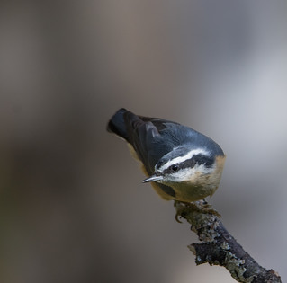 Sittelle à poitrine rousse  -- Red-Breasted Nuthatch