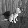 Duffy (Col_in_Devon) Tags: dog guidedogpuppy puppy yellow female bitch labgret labradorgoldenretriever sat decking bw blackwhite