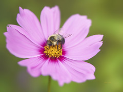 Bee In The Cosmos (ChristopherLeeHewitt) Tags: cosmos flower flora foliage blossom bloom bloomingart bee petals pollen pollenization garden plants insect color nikon nature nikond810 naturallight