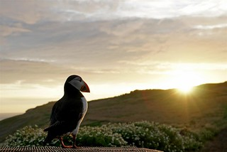 Puffin at sunset...