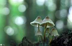 Tiny mystical world (Trayc99) Tags: mushrooms fungi tiny nature softbackground smileonsaturday tinytreasuresinflora magical macro beautyinnature beautyinmacro beautiful bokeh wood forest