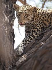 PA012178 Leopard (Joanna P Dale) Tags: kgalagaditransfrontierpark tweerivieren olympus omdem1mkii panasonic100400 africanleopard leopard