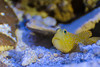 grumpy (animalisterra) Tags: fish yellow spots blue goby sand reef ocean frog canon 70d water