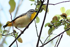 Male Spotted Pardalote, Melbourne (petebond_au) Tags: pardalotuspunctatus pardalotidae passerines twitchers bird watching natural beauty spotted pardalote birds colourful male class aves playful australian fauna leaves plant sky wonderful nature conservation biodiversity ecology insectivore