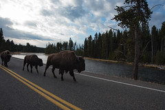 Looks like they are anticipating British drivers (John Nefastis) Tags: bison buffalo american yellowstone national park nationalpark wyoming montana madison river brown road horns wildlife autumn usa nikon tamron