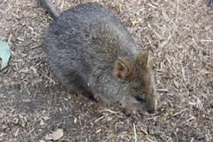 Quokka / Taronga Zoo
