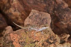 Bynoe's Gecko (Heteronotia binoei) (shaneblackfnq) Tags: bynoes gecko heteronotia binoei shaneblack lizard reptile breakaways moon plain coober pedy south australia arid outback