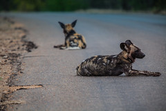 African wild dog (A. v. Z.) Tags: zuidafrika krugernationalpark african wild dog lycaon pictus san