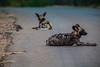African wild dog (A. v. Z.) Tags: zuidafrika krugernationalpark african wild dog lycaon pictus san