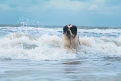 galli-cadzand42ps (cdandrifosse) Tags: galli saint bernard mer cadzand chien