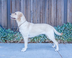 Marietta side (Guide Dogs for the Blind) Tags: breeder brood