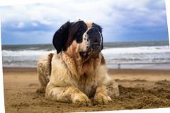 galli-cadzand39ps (cdandrifosse) Tags: galli saint bernard mer cadzand chien