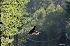 Faisan noir  Phasianus colchicus  tenebrosus (BPBP42) Tags: oiseau bird vogel animal