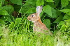 Rabbit 500_2387.jpg (Mobile Lynn - Limited internet) Tags: landmammals rabbit nature wild fauna mammal mammals wildlife wiggonholt england unitedkingdom gb