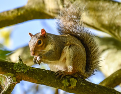 Squirrel, and look at the size of the rear claw! (philbarnes4) Tags: squirrel rodent branch morning view parkwood rainham kent england philbarnes dslr nikond5500 claw medway greysquirrel grey