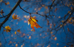 Never Fall Down (Photo Alan) Tags: mapleleaves maple leaves leaf red trees bluesky vancouver fall autumn canada 八枚玉 sky tree leica m10, leicam10