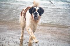 galli-cadzand38ps (cdandrifosse) Tags: galli saint bernard mer cadzand chien