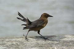 pier walker (ucumari photography) Tags: ucumariphotography bird animal coast beach north carolina oakisland longbeach nc october dsc7029 wind specanimal