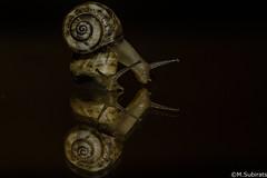 Snails (The Little Window) Tags: snails 105vr nikond500 sb700 flash macro